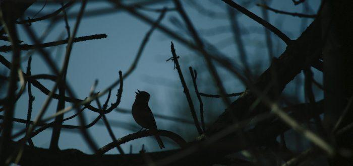 De nachtegaal zingt